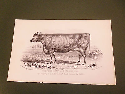 Antique Cattle Litho Print Oxford Bull C1850 Vgc Free Postage