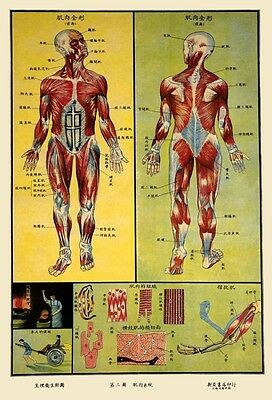 1930's Chinese Medical Chart Of Human Muscle Anatomy A3 Poster Art Print