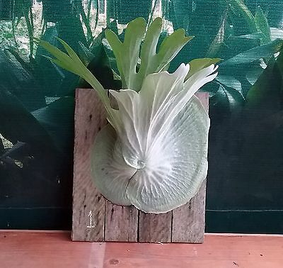 Staghorn Plant On Board #1