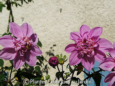 Dahlia imperialis Double or nothing - géant