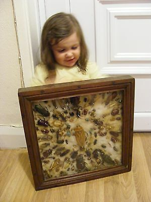 Taxidermy Beetles Bugs Ladybirds  In Framed Case Cockroach  Insects & More