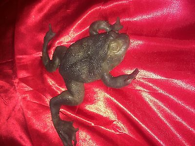 Magnolia - Screen-Used Prop Armatured Silicone Frog! Tom Cruise! Paul Anderson!