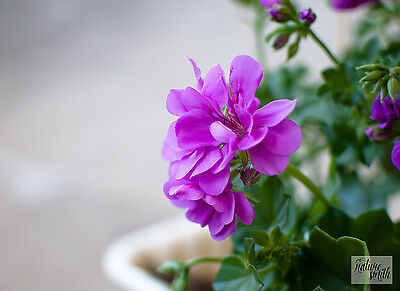 Lilac Ivy Pelargonium Plant - Ivy Geranium Purple Pink Rooted Cutting
