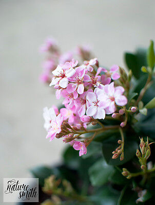 Rhaphiolepis Indian Hawthorn Cutting, Compact Plant - Pink Flowers. 3 x Cuttings