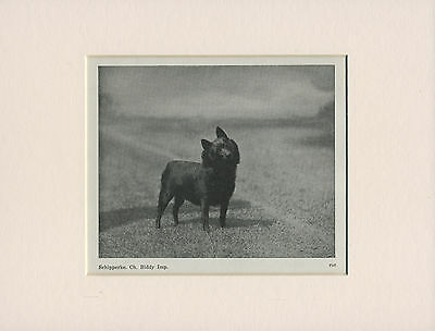 Schipperke Named Champion Dog Old 1940's Print Mounted Ready To Frame