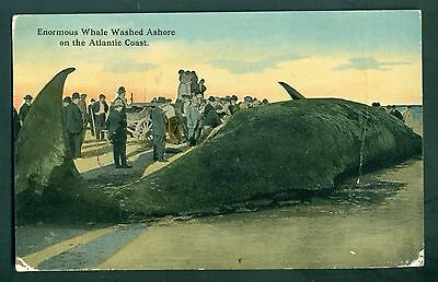 1910 Enormous Whale Washed Ashore on the Atlantic Coast Postcard