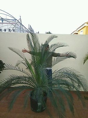 macrozamia moorei height 180-200cm  pot 45 cm    15 YEARS old