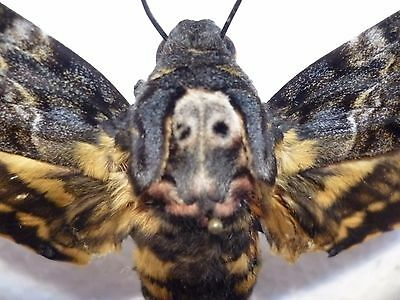 Real Dried Moth/Insect Non-Set.Rare color form Acherontia styx Death Head Moth