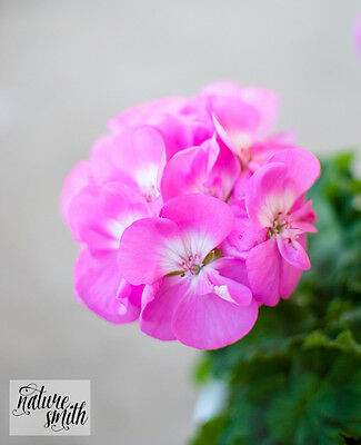 American Beauty Zonal Pelargonium Cutting- Geranium Pink with White Eye Plant