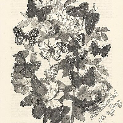 Montage of Butterflies & Moths: antique 1866 engraving print: insect picture art