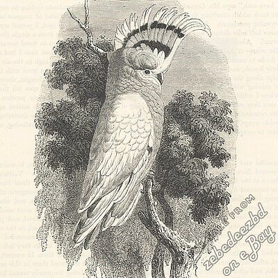 Crested Cockatoo (Major Mitchell's/Pink): antique 1866 engraving print: bird art