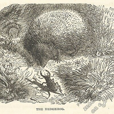 Hedgehog: antique 1866 engraving print: rodent animal art nature picture drawing