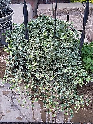 Live Hedera Helix/Ingrid Liz Variegated Trailing Ivy Plant - 10 Healthy Cuttings