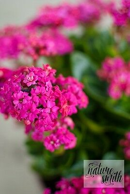 Kalanchoe Cutting - Fuchsia Pink Purple Succulent Flowers Plant