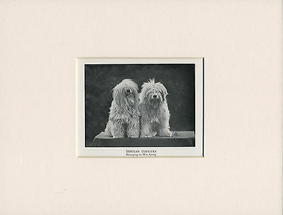 Tibetan Terrier Dogs Old 1950's Print Mounted Ready To Frame