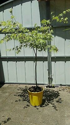 Japanese MapleApprox 1.3mt height and 1.0mt wide in a 250mm pot.