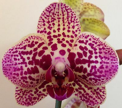 Phalaenopsis Orchid In Flower And Bud 2 Flower Spikes