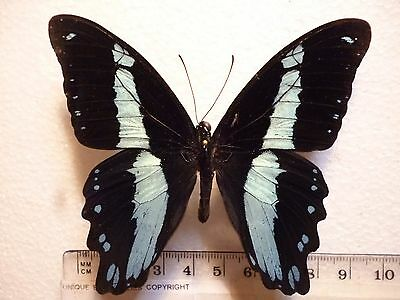 Real Butterfly/Moth Dried Insect Non Set.Blue/Black..Papilio bromius... 8 cm ++