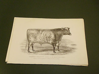 Antique Cattle Litho Print Oxford Beau Bull C1850 Vgc Free Postage