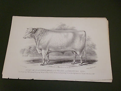 Antique Cattle Litho Print Duke Of Clarence Bull C1850 Vgc Free Postage