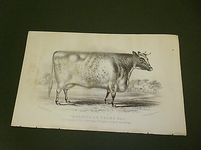 Antique Cattle Litho Print Rebecca Cow C1850 Vgc Free Postage