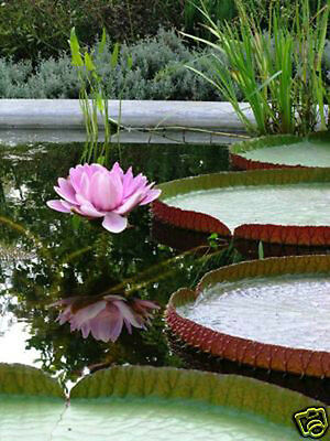 WOW!! Victoria Amazonica/Giant Water Lily/Lotus/102 seeds/