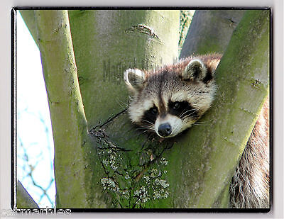 METAL MAGNET Bored Raccoon Laying In Tree Raccoons MAGNET X