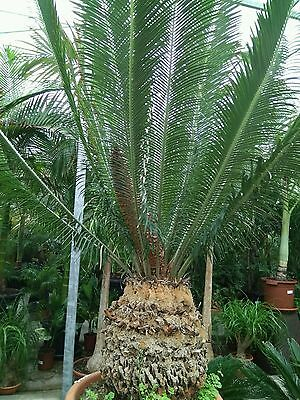 Cycas panzhihuaensis height 150 cm  caudex 35 cm height