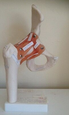 Anatomical Model Hip Joint