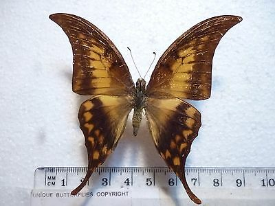 Real Butterfly/Moth Dried Insect Non Set.Rare Papilio Meandrusa payeni ciminius