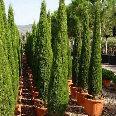 Italian Cypress Tree Seeds (Cupressus sempervirens) 25+Seeds