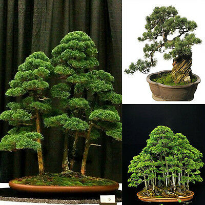 40Pc Japanese White Pine Pinus Parviflora Tree Seeds Garden Bonsai Tree Seeds