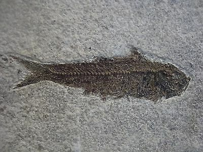 Super Fossil Fish Knightia Eocene Green River Formation Wyoming USA