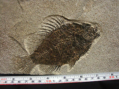 Super Fossil Fish Priscacara serrata, Green River Formation Wyoming, USA