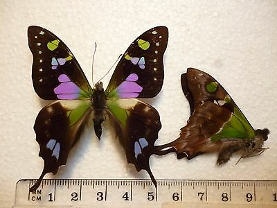 Real Butterfly/Moth Dried Insect Non Set..Graphium weiskei..Papua..5 cm to 6 cm