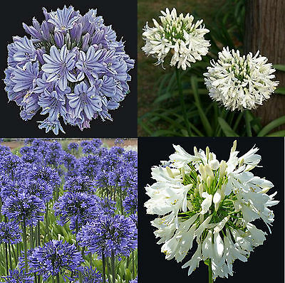Agapanthus praecox Blue or White, Agapant, African Lily of the Nile, 20 Seeds