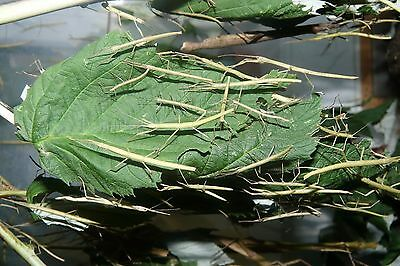 20 Indian Stick Insect Nymphs
