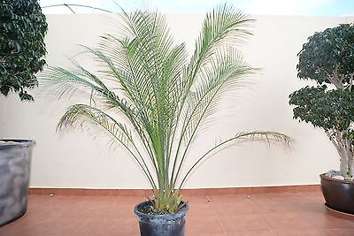 macrozamia moorei height 120 cm caudex 12 cm  POT 30 CM