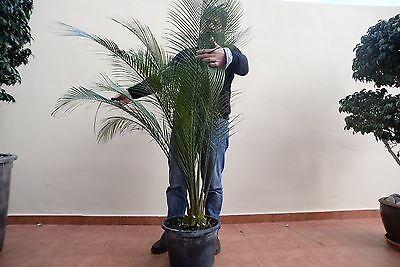 macrozamia moorei height 140 CM CAUDEX 15 CM POT 30
