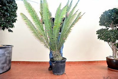 Dioon Spinulosum Heght 130 Cm Caudex 20X20 Cm   Pot 35 Cm