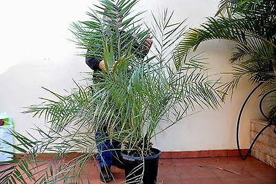 PHOENIX PUSILLA very rare¡¡¡ height 130 cm  pot 30 cm