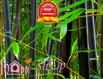 100 Fresh Black Phyllostachys Nigra Bamboo Seeds With Instructions-Rare Seeds