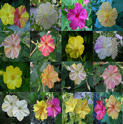Mirabilis jalapa, Jalap marbled flower beauty of the night, mix colours, Seeds