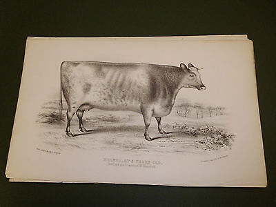 Antique Cattle Litho Print Brenda Cow C1850 Vgc Free Postage