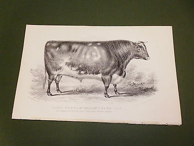 Antique Cattle Litho Print Lord Durham Bull C1850 Vgc Free Postage