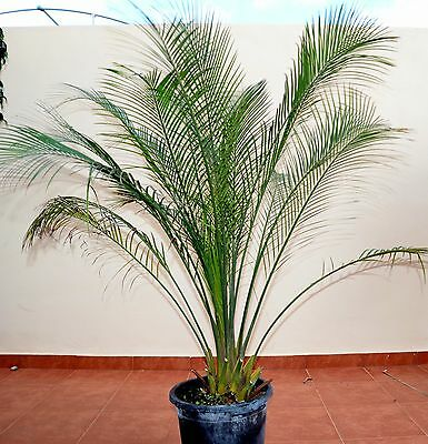 macrozamia communis  height 100-125 cm  CAUDEX 12 CM   POT 30
