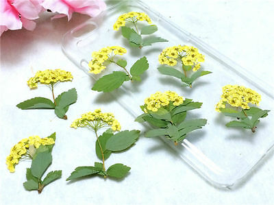 12 Pressed Dried Real Flower Yellow Plum Narcissus with leaf DIY Specimen Cup 5
