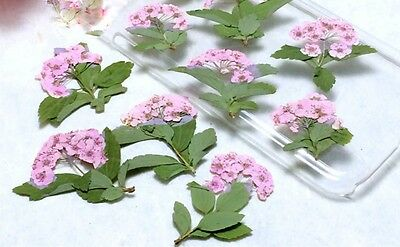 12 x Pressed Dried Real Flower Pink Plum Narcissus with leaf DIY Phone case 2