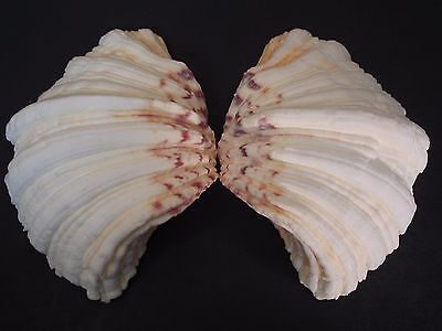"The Famous...HIPPOPUS HIPPOPUS~104mm/4""~""Bear's Paw"" SEASHELL"