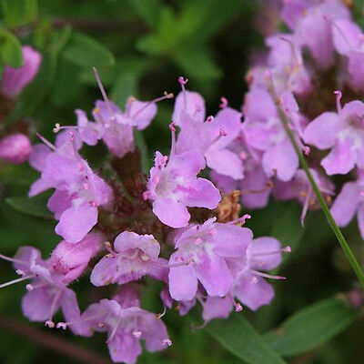 Thymus mongolicus, thyme seeds, mongolian thyme seeds,about 60 particles